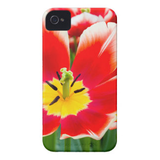 Tulipa branca vermelha no campo das tulipas capinhas iPhone 4