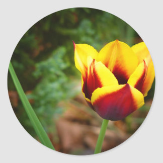 Tulipa listrada de Bellona Adesivo