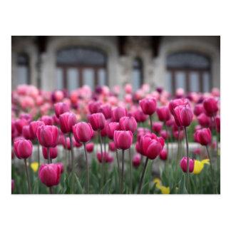 Tulipas cor-de-rosa em Montreal, Canadá - cartão
