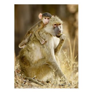 Um babuíno amarelo infantil (Papio Cartão Postal