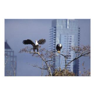 Um bom tiro de um par de águias americanas impressão de foto