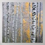 um bosque do vidoeiro nos troncos do fragmento do  impressão