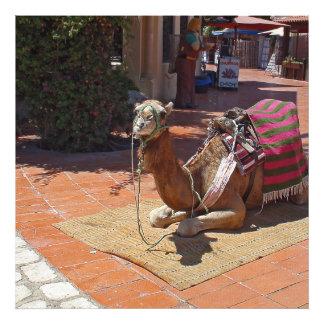 Um camelo de Brown que estabelece com sela e Impressão De Foto