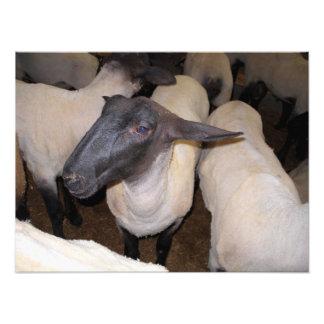 Um carneiro entre um rebanho dos carneiros
