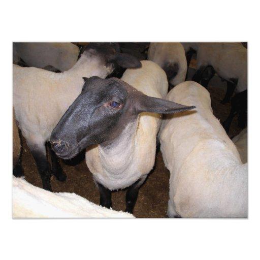 Um carneiro entre um rebanho dos carneiros arte de fotos