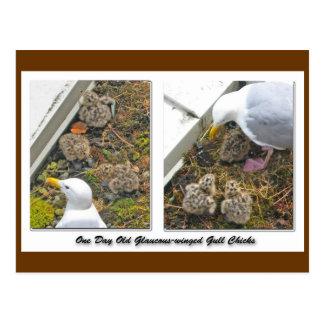 Um cartão dias de idade dos pintinhos da gaivota