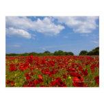 Um cheio do campo de flores vermelhas cartão postal