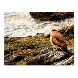 Um falcão - Terra do Fogo, Argentina Cartão Postal