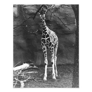 Um girafa só fotografia