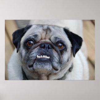 Um Pug de sorriso Pôster