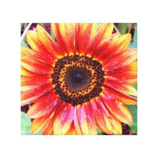 Um Sunburst de um girassol da beleza do outono Impressão De Canvas Envolvida