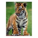 Um tigre de bebê bonito cartoes postais