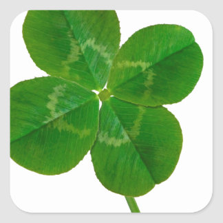 Um trevo de quatro folhas adesivo quadrado