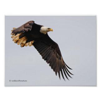 Uma águia americana toma ao céu impressão de foto