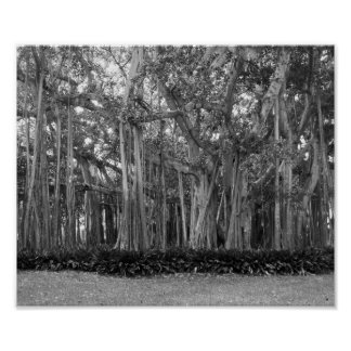 Uma fotografia preto e branco de árvores de Banyan Pôster