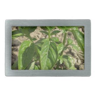 Única planta fresca da manjericão que cresce no
