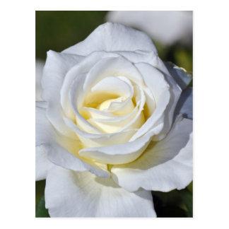 Únicas flores do rosa branco cartão postal
