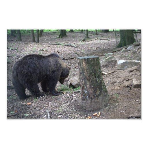 Urso de Brown Fotografias