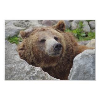 Urso de Kodiak Impressão De Foto