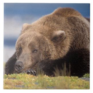 urso marrom, arctos do Ursus, urso de urso, Ursus