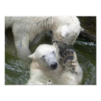 Ursos polares de combate impressão de foto