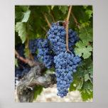 Uvas do vinho tinto na videira impressão