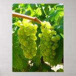 Uvas verdes na videira poster