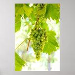 Uvas verdes na videira posteres