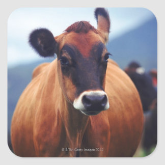 vaca adesivo quadrado