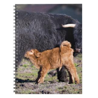 Vaca e jovens escoceses pretos da mãe do escocês cadernos
