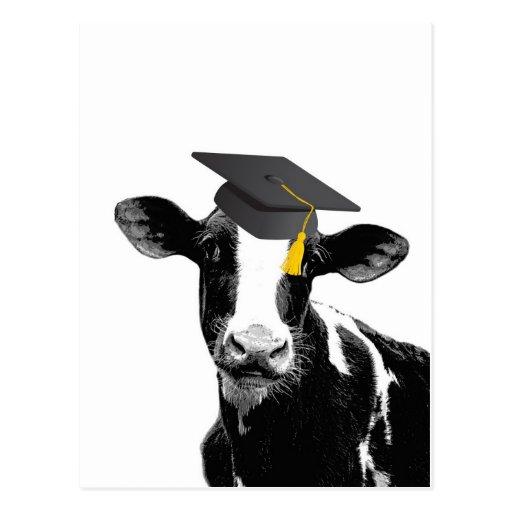 Vaca engraçada da graduação dos parabéns no boné cartão postal