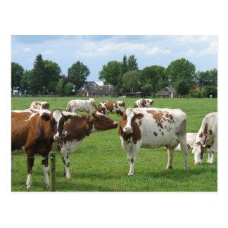 Vacas de leiteria que olham o cartão