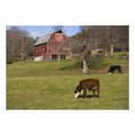 Vacas em uma fazenda em Fairlee ocidental, Vermont Fotografias