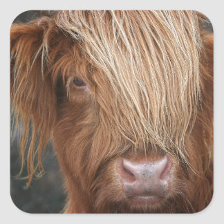 Vacas escocesas das montanhas - Scotland Adesivo Quadrado