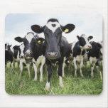 Vacas que estão em seguido de vista a câmera mousepad