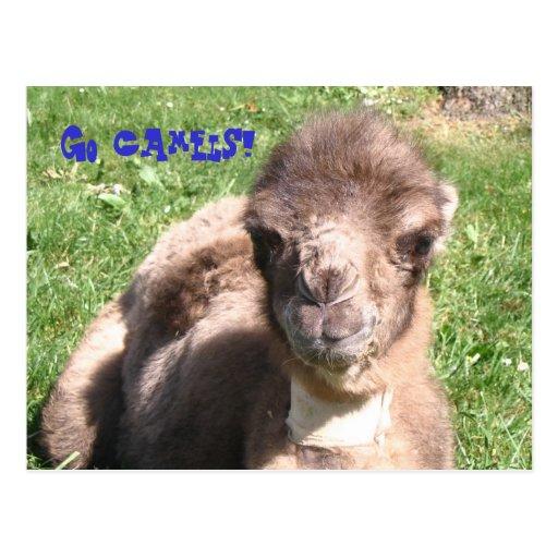 Vão os camelos! cartão postal