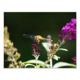 Vara da libélula impressão 11 x 8,5 fotográfico artes de fotos
