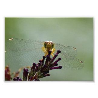 Vara da libélula impressão 7 x 5 fotográfico impressão de fotos