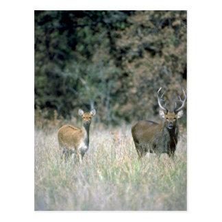 Veado e cervos cartão postal