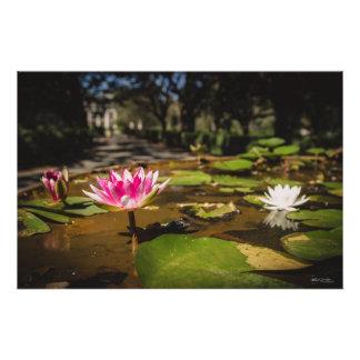 Verão da flor da água fotografia
