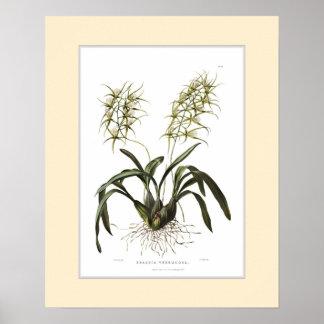 Verrucosa do Brassia, beira feita sob encomenda Pôster