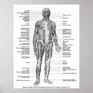 Vintage - músculos humanos da anatomia pôster
