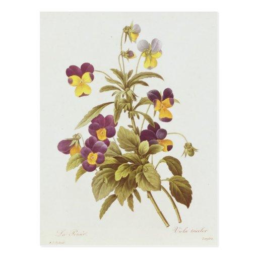 Viola Tricolour Cartoes Postais