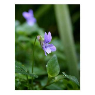 Violetas selvagens 1 cartão