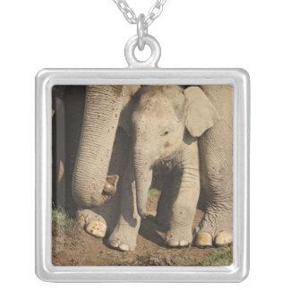 Vitela do elefante indiano, parque nacional de colar com pendente quadrado