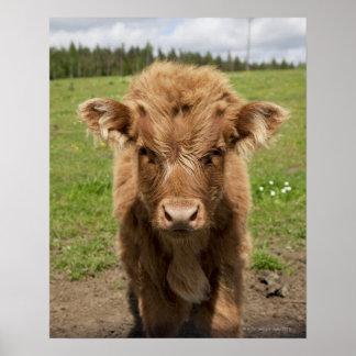 Vitela do gado das montanhas, perto de Dufftown, Poster