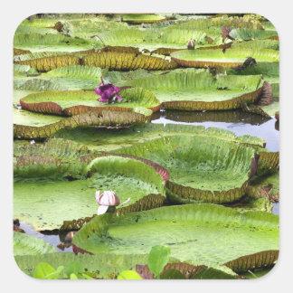 Vitoria Regis, lírios de água gigantes no Amazon Adesivo Quadrado