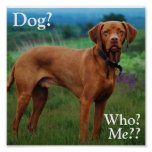 Vizsla - cão? , Quem? , Mim?? Posteres