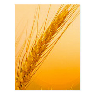 WheatSun Cartão Postal