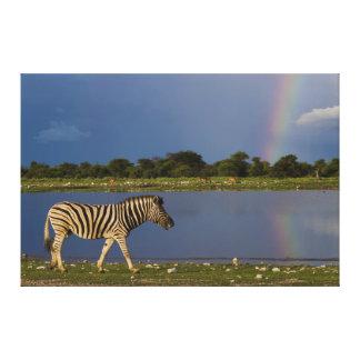 Zebra das planícies que anda na frente de um arco-